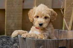 What should I name my Goldendoodle? Find great names for mini Goldendoodle like Monty🐾Cody 🐾 Shiro🐾 Shadow🐾 Coco🐾 Finn🐾Teddy🐾Ginger 🐾 #MiniGoldendoodleNames #GoldendoodleNames #DogNames Girl Dog Names, Puppy Names, Pet Names, Cool Female Dog Names, Best Dog Names, Goldendoodle Names, Mini Goldendoodle Puppies, Best Dogs For Families, Funny Birds
