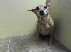 SUPER URGENT 04/27/14 Brooklyn Center   CHIQUI - A0997909  I am an unaltered female, brown and white Chihuahua - Smooth Coated mix.  The shelter staff think I am about 12 years old.  I weigh 11 pounds.  I was found in NY 11385.  I have been at the shelter since Apr 27, 2014.  https://www.facebook.com/photo.php?fbid=794173370595544&set=a.617942388218644.1073741870.152876678058553&type=3&theater