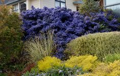 Specializing in rare and unusual annual and perennial plants, including cottage garden heirlooms and hard to find California native wildflowers. Dry Garden, Garden Shrubs, Landscaping Plants, California Lilac, California Garden, Landscape Design, Garden Design, Gardening Zones, Sun And Water