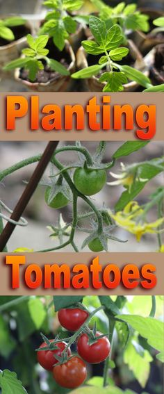 How to Planting TomatPlanting Tomatoes : Tomatoes are one of the first vegetables to sow in the early spring... #garden #Tomatoes #gardeningoes