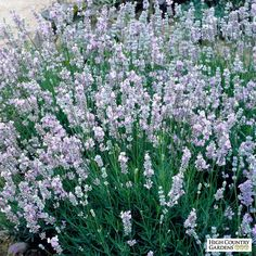 Zone 8 ready - Provence French Lavender (Lavandula intermedia 'Provence') is an intensely fragrant lavender. Sometimes called Lavandin, it makes a wonderful cut flower with long stems and lavender-blue flower spikes. Drought resistant perennial plant (xeric).