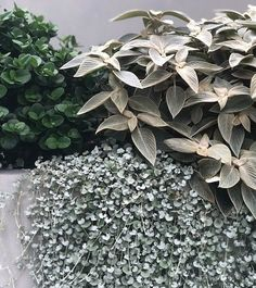 Plants We Love: Strobilanthes Gossypinus/Persian Shield Pool Landscape Design, Green Landscape, Garden Design, Exotic Plants, Tropical Plants, Garden Seeds, Garden Plants, House Plants, Persian Shield Plant