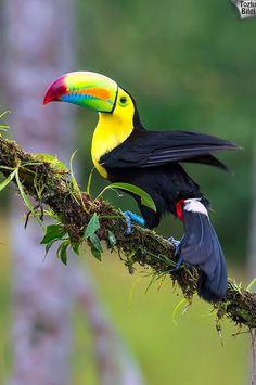 Tukan (Toucan Bird)