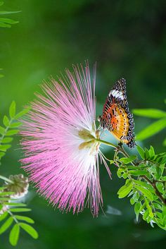 The Lacewing Butterfly among flowers