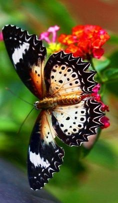 Lacewing Butterfly on Lantana