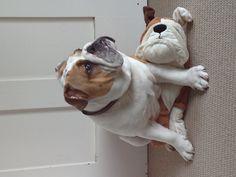 My British Bulldog has no respect for his breed