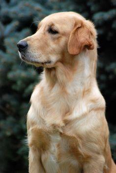 Cristina Santinon Goldens - golden retriever provincia di Como, cuccioli, toelettatura, handling