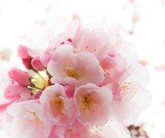 Pink Cherry Blossoms Photograph Vintage Style by susannajarian