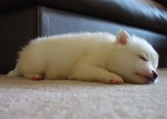 7 week old American Eskimo puppy