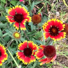 Over at Julie's: Backyard Beauties This pretty flowers are called Blanket Flowers!