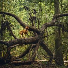 Vizsla antics- tip: don't get a V if you want a chilled out walk-around-the-block type of dog! We hunting dogs do not exercise ourselves and need equally crazy owners. #dogonalog #treeclimbing #AdventureWithDogs