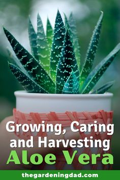 Learn easy and quick tips for Growing, Caring, and Harvesting Aloe Vera!  Tips include how to grow Aloe Vera from seed, in pots, indoors, along with tips on caring, harvesting, and uses!  #aloevera #succulents #gardening Gardening For Beginners, Gardening Tips, Growing Herbs At Home, Growing Aloe Vera, Raising Backyard Chickens, Succulent Gardening, Replant, Grow Your Own Food, Herbs Indoors