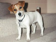 Short Legged Jack Russell Terrier Puppies Images