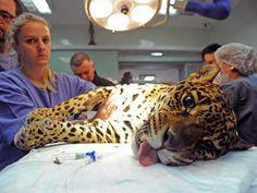 Onça-pintada é operada e recebe células-tronco para recuperação Animal, que se chama Angelina, vive no Zoológico de Curitiba. Cirurgia foi para corrigir uma fratura no calcanhar direito da onça.