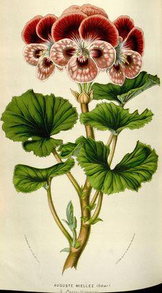 Flore des serres et des jardins de l'Europe. 1845-1880..
