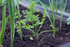udplantning af gulerodsblomsten 'Daucus carota Dara'