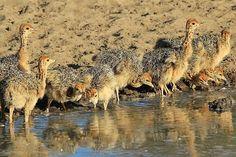 Safari Ostrich Farm is a working ostrich farm in Oudtshoorn which offers ostrich farm tours, restaurant & shopping in the Garden Route, South Africa. South Africa Wildlife, Ostriches, Camel, Safari, Drinking, Rain, Tours, Animals, Rain Fall