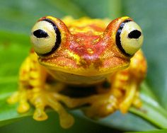 »✿❤Love Frogs!❤✿« Hypsiboas picturatus, Imbabura Treefrog, in habitat. Photo by Brad Wilson