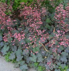 Heuchera 'Cherries Jubilee' | Fine Gardening