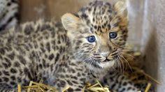C'est l'une des espèces animales les plus rares au monde. La panthère de l'Amour a vu sa population augmenter de 50% ces dernières années, grâce à la création d'un nouveau parc national dans l'Extrême-Orient russe. Un signe d'espoir pour les espèces menacées