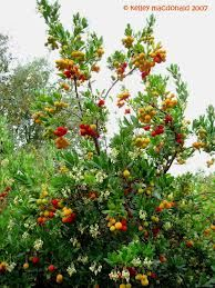 From the garden larbousier arbousier commun arbutus unedo from the garden larbousier arbousier commun arbutus unedo fraisier en arbre plants pinterest plants and gardens mightylinksfo