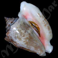 Image result for Strombus galeatus