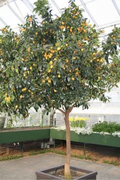 Go Garden BONSAI 10 unids lima limon dulce org/Ã/¡nico comestible fruta plantaci/Ã/³n /Ã/¡rbol en maceta para el hogar jard/Ã/n suministros