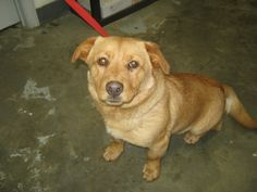 Stubby is a 1 year old male Corgi mix. He is up to date on his vaccinations at NICHOLAS COUNTY ANIMAL SHELTER   #Summersville WV 26651  M-Sat 9:30a-3:30p     nicholasanimalshelter@yahoo.com  Ph 304 872 7877
