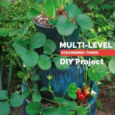 Multi-Level Strawberry Tower I just finished reading Julie Bawden-Davis' book, The Strawberry Story: Strawberry Planters Diy, Strawberry Plants, Grow Strawberries, Plant Projects, Garden Projects, Strawberry Tower, Strawberry Patch, Stacked Pots, Orchard Design