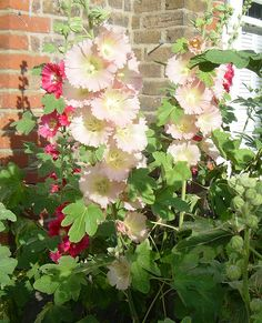 Hollyhocks in My Garden