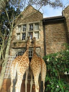 giraffe manor - Google Search