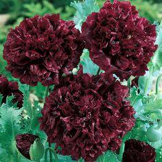 'Black Dragon' poppy