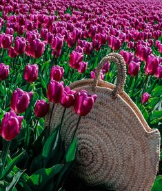 tulip fields and a white dress