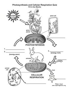 Photosynthesis and Respiration Model | Cells | Pinterest | Models ...