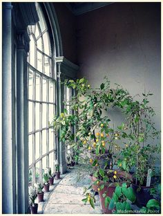 Lemon tree in the green house at Osterley house (London).  Image by Mademoiselle Poirot