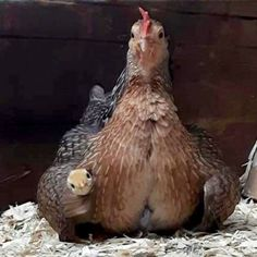 NOT animal industry.just MAMA!If we rise chicken,at least ,rise them in a REDUCED quantity.God created these animals for our delightful life and for their freedom and happiness.WITHOUT MEAT! Chicken Bird, Chicken Chick, Chicken Lady, Farm Animals, Animals And Pets, Funny Animals, Cute Animals, Beautiful Chickens, Beautiful Birds
