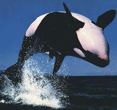 Wooohooohooo killer whale