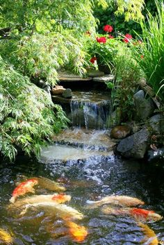 Fantastic garden pond with koi fish!