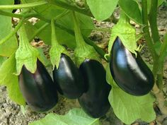 Coltivare melanzane biologiche evitando efficacemente gli attacchi dei parassiti. Ecco le accortezze necessarie.