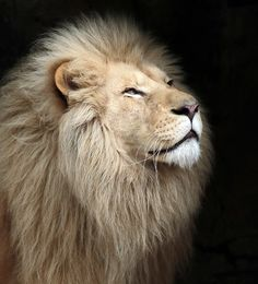 "johnnyslittleanimalblog: ""african white lion Credo Ouwehands JN6A1553 by j.a.kok on Flickr. """