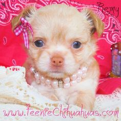 Chihuahua puppies for sale, chihuahua for sale, akc chihuahua, chihuahua breeder, AKC breeder, applehead chihuahua puppies for sale, longhaired chihuahuas for sale www.TeenieChihuahuas.com