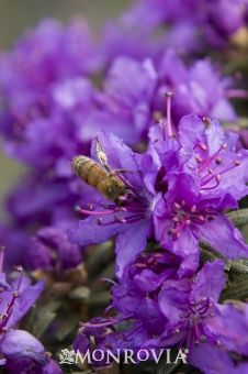 Dwarf Purple Rhododendron - this dwarf evergreen packs a colorful punch in late spring with gorgeous clusters of purple flowers.  zone 5-8