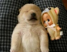 Shibu Inu puppy dreams and makes the cutest sounds http://www.dogheirs.com/misst/posts/1240-adorable-shiba-inu-puppy-talks-in-his-sleep