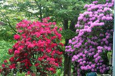[Rhododendrons%25205_19%255B9%255D.jpg]