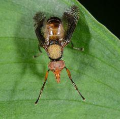 Fruit fly@@