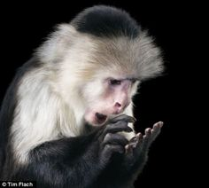A capuchin #monkey picks at his finger, and looks surprised   These stunning pictures were created by UK-based photographer Tim Flach, who has made a name taking intimate photos of animals   photography, animals, art