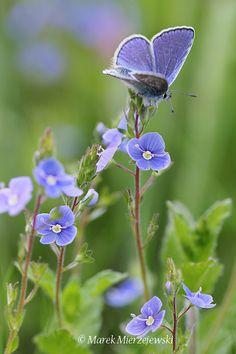 """(via 500px / Photo """"bleu commun (Polyommatus icarus)"""" par Marek Mierzejewski"""