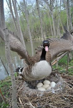 mother goose . looks like the photographer had a death wish