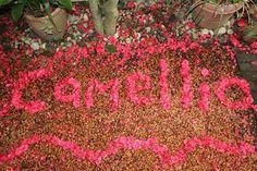Camellia, Seattle WA