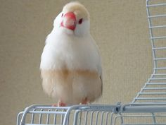 カフェオレ文鳥